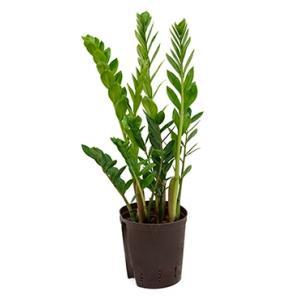 Zamioculcas zamiifolia M hydrocultuur plant