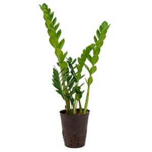 Zamioculcas zamiifolia S hydrocultuur plant