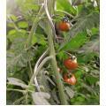 Tomatensteun