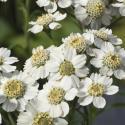 Wilde bertram (Achillea ptarmica) moerasplant