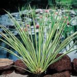 Dwergkalmoes (Acorus gramineus) moerasplant