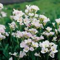 Pinksterbloem (Cardamine pratensis) moerasplant
