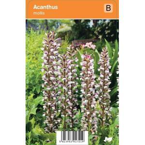Akant (acanthus mollis) zomerbloeier - 12 stuks