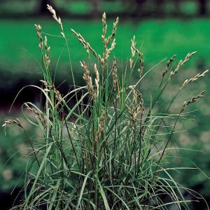 Palmzegge (Carex Muskingunemsis) moerasplant - 6 stuks