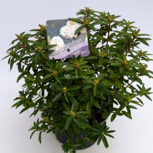 """Dwerg rododendron (Rhododendron """"Arctic Tern"""") heester"""