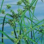 Parapluplant (Cyperus alternifolius) moerasplant