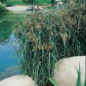 Lang cypergras (Cyperus longus) moerasplant