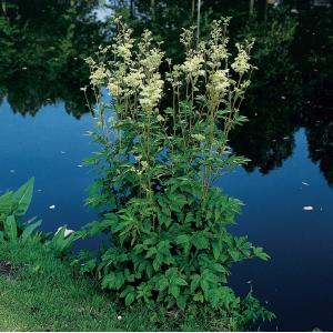 Moerasspirea (Filipendula ulmaria) moerasplant
