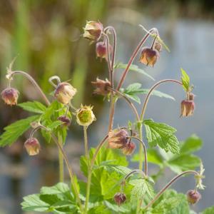 Knikkend nagelkruid (Geum rivale) moerasplant