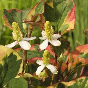 "Korting Bonte moerasanemoon (Houttuynia cordata ""Chameleon"") moerasplant 6 stuks"