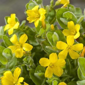 Moerashertshooi (Hypericum elodes) moerasplant - 6 stuks