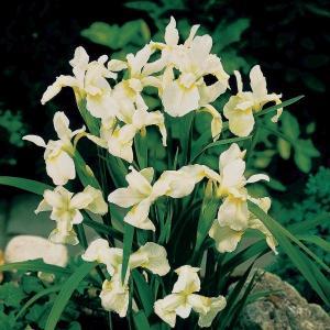 """Witte Siberische iris (Iris Sibirica """"Snow Queen"""") moerasplant - 6 stuks"""