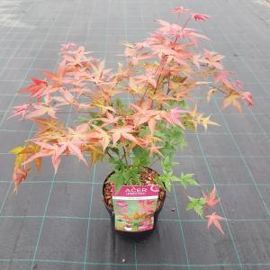 "Japanse esdoorn (Acer palmatum ""Beni-Maiko"") heester"