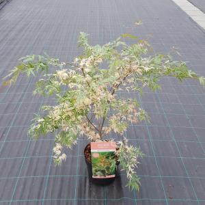 "Japanse esdoorn (Acer palmatum ""Beni-Shichi-Henge"") heester"