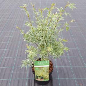 """Japanse esdoorn (Acer palmatum """"Butterfly"""") heester"""
