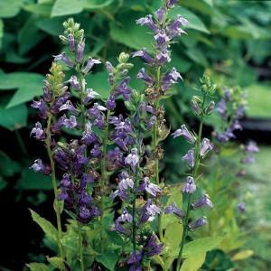 Virginische lobelia (Lobelia siphilitica) moerasplant - 6 stuks