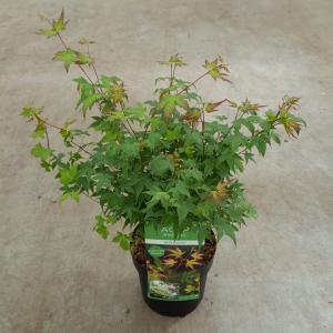"""Japanse esdoorn (Acer palmatum """"Little Princess"""") heester"""