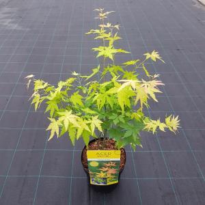 """Japanse esdoorn (Acer palmatum """"Orange Dream"""") heester"""