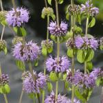 Polei (Mentha pulegium) moerasplant