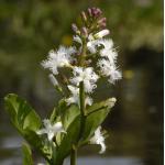 Waterdrieblad (Menyanthes Trifoliata) moerasplant