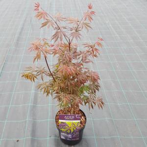 Japanse esdoorn (Acer palmatum Trompenburg) heester