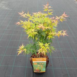 "Japanse esdoorn (Acer palmatum ""Wilson's Pink Dwarf"") heester"