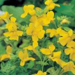Gele maskerbloem (Mimulus luteus) moerasplant