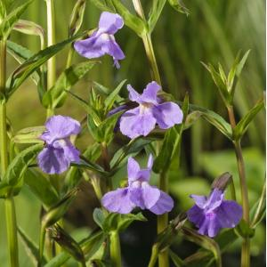 Blauwe maskerbloem (Mimulus ringens) moerasplant - 6 stuks