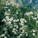 "Wit moerasvergeet-mij-nietje (Myosotis palustris ""alba"") moerasplant"