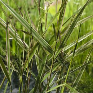 "Korting Kanariegras (Phalaris arundinacea ""Picta"") moerasplant 6 stuks"