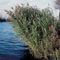 Riet (Phragmites Australis) moerasplant