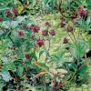 Wateraardbei (Potentilla palustris) moerasplant