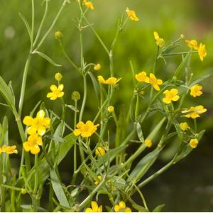 Egelboterbloem (Ranunculus flammula) moerasplant