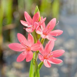 "Roze kafferlelie (Schizostylis coccinea ""Mrs Hegarty"") moerasplant - 6 stuks"