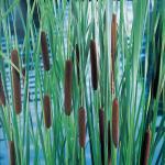 Lisdodde (Typha laxmannii) moerasplant