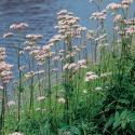 Echte valeriaan (Valeriana officinalis) moerasplant