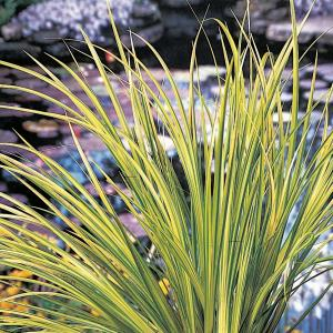 "Bonte dwergkalmoes (Acorus gramineus ""Ogon"") moerasplant - 6 stuks"