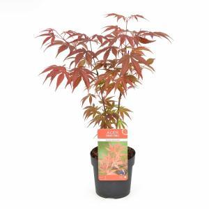 """Japanse esdoorn (Acer Palmatum """"Atropurpureum"""")"""