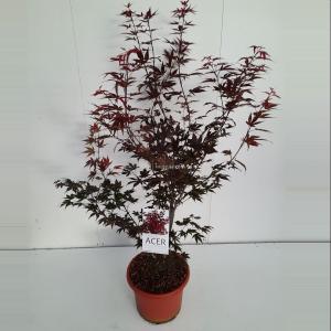 Japanse esdoorn (Acer Palmatum Atropurpureum) - 100-125 cm - 1 stuks