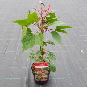 Dagaanbieding - Japanse esdoorn (Acer conspicuum