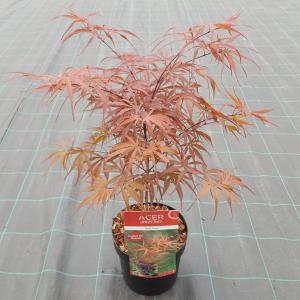 "Japanse esdoorn (Acer palmatum ""Peve Dave"") heester"