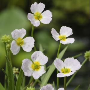 Korting Stijve moerasweegbree (Baldellia ranunculoides) moerasplant 6 stuks