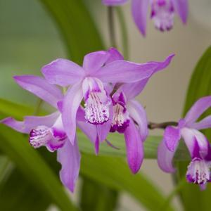 Japanse orchidee (Bletilla striata) moerasplant - 6 stuks