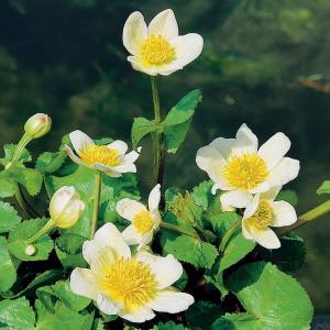 "Witte dotterbloem (Caltha palustris ""alba"") moerasplant"