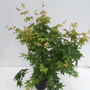 Japanse esdoorn (Acer Palmatum) - 40-60 cm - 1 stuks