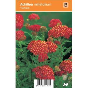 "Duizendblad (achillea millefolium ""Paprika"") zomerbloeier"