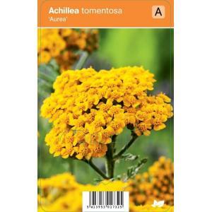 """Duizendblad (achillea tomentosa """"Aurea"""") zomerbloeier"""