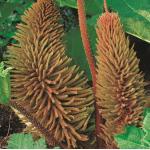 Mammoetblad (Gunnera manicata) moerasplant