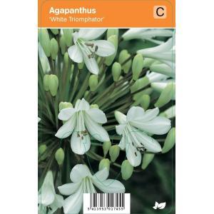 "Afrikaanse lelie (agapanthus ""White Triumphator"") zomerbloeier"