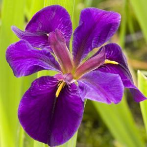 """Paarse Japanse iris (Iris """"Black Gamecock"""") moerasplant"""